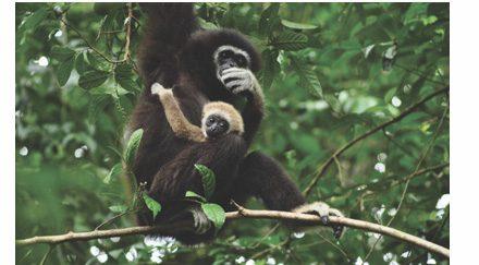 Retour à la jungle pour les gibbons de Thaïlande