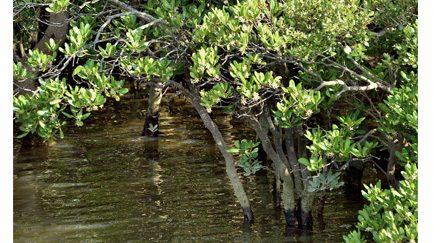 Les mangroves conquièrent de nouveaux territoires