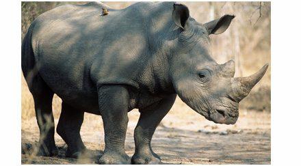 La Banque mondiale au secours des rhinocéros