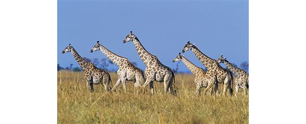 Les girafes sont sociables